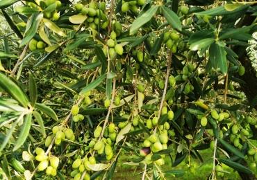 Olio extra vergine di oliva annata 2020